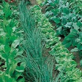vegetable gardens - Vegetable Garden Ideas For Minnesota